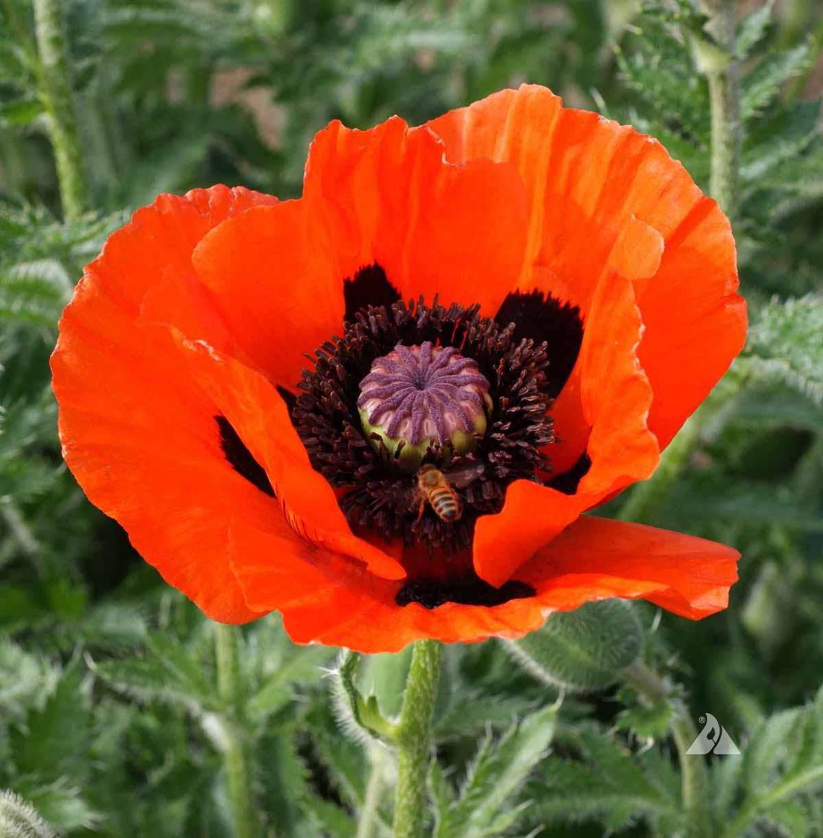 Oriental Poppy Papaver Orientale Applewood Seed Company