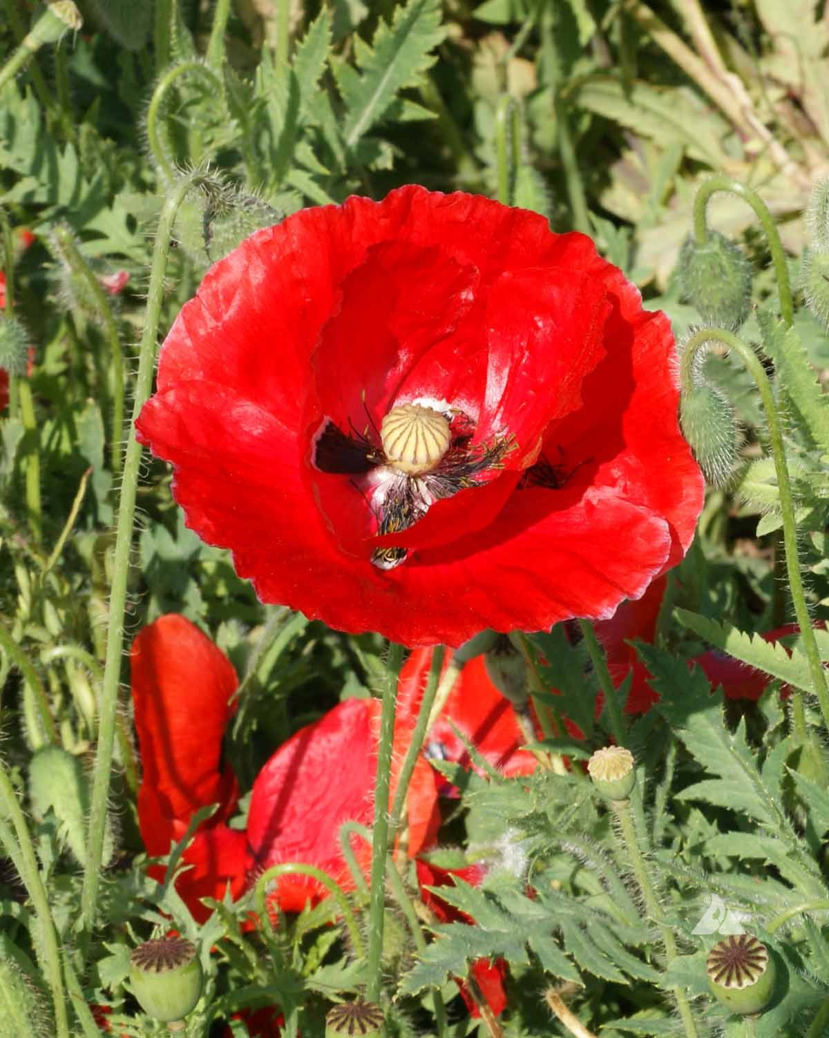 Red Corn Poppy Papaver Rhoeas Applewood Seed Company