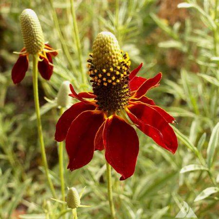 coneflower dwarf red