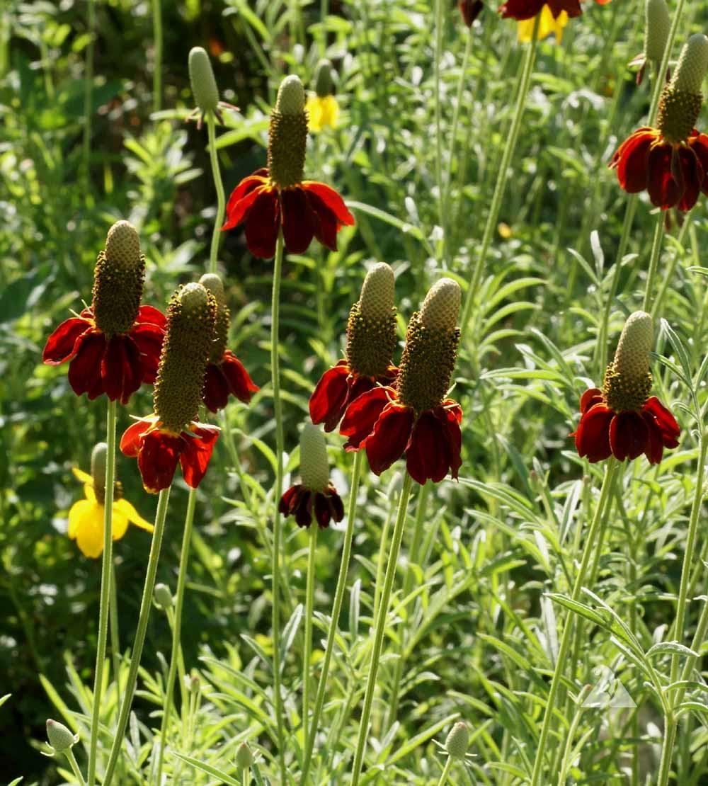 Dwarf Red Coneflower Ratibida Columnifera Applewood