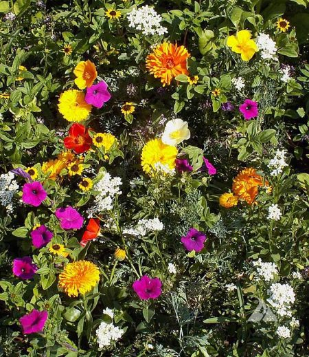 Sunburst Ground Cover Mixture