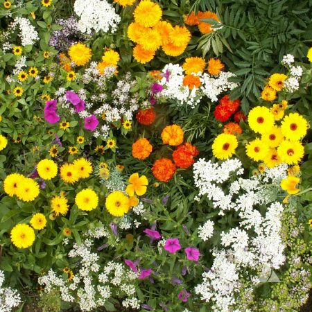 Annual Flower Seed Mixes With Cultivated Flowers