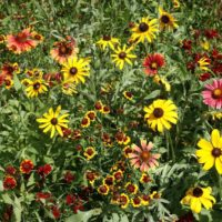 Short Prairie Flower Mixture