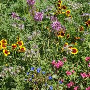 Western Pollinator Seed Mix