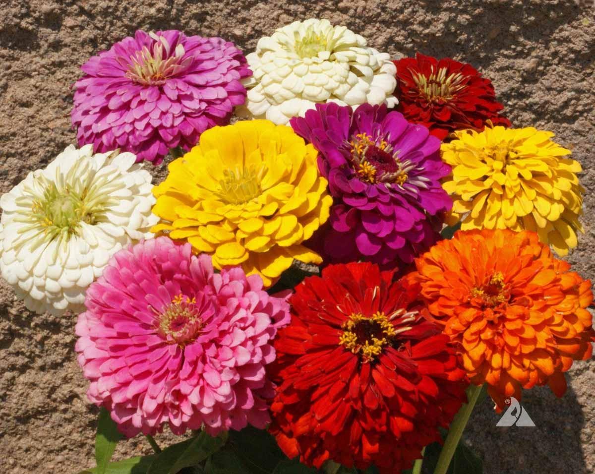 Zinnia Dahlia Flowered Mix Elegans