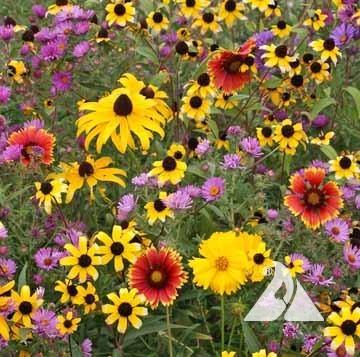 Northeast Native Wildflower Mix