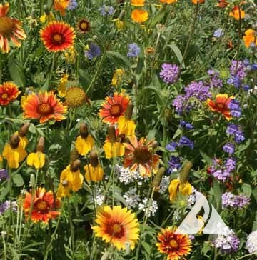 Western Wildflower Mix
