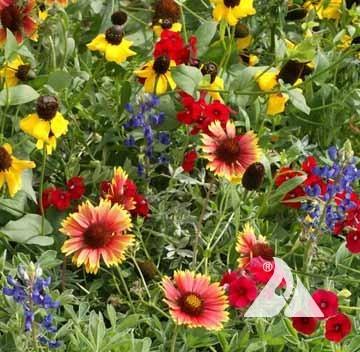 Texas Oklahoma Wildflower Mix