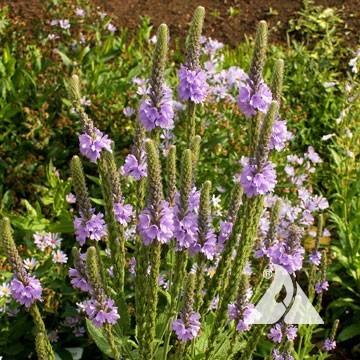 Short Prairie Flower Mix