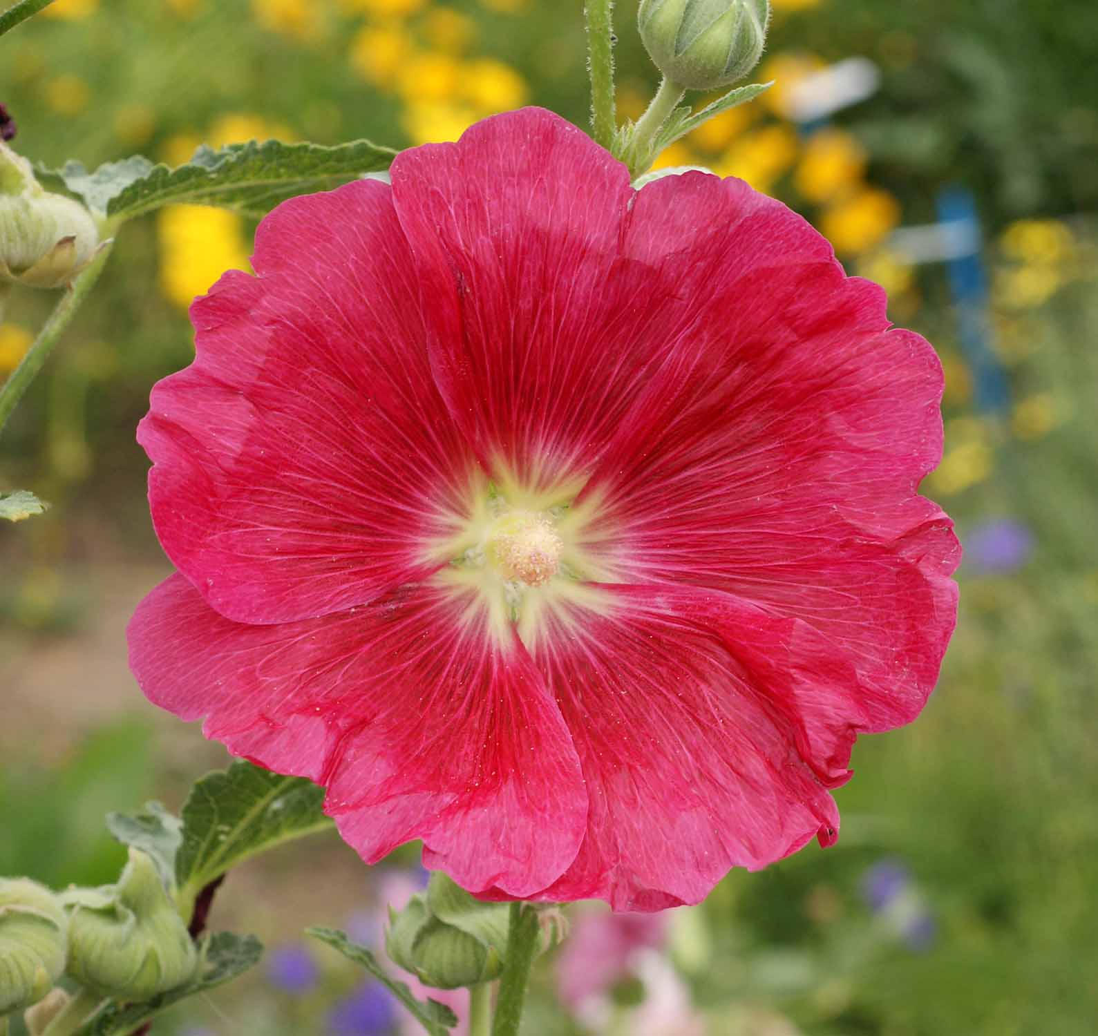 Old fashioned hollyhock seeds 31