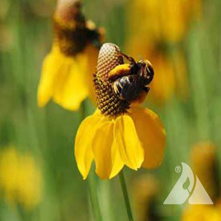 Seed Mixes for Bee Conservation