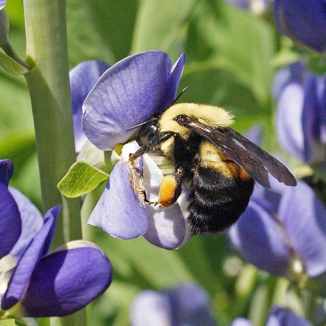 Applewood Seed Pollinator Mixtures