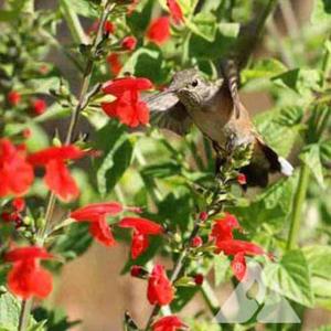 Hummingbird Flower Mixture