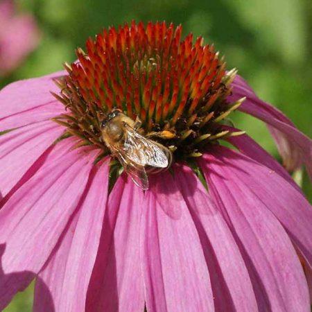 Pollinator Conservation