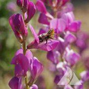 Western Pollinator Mix