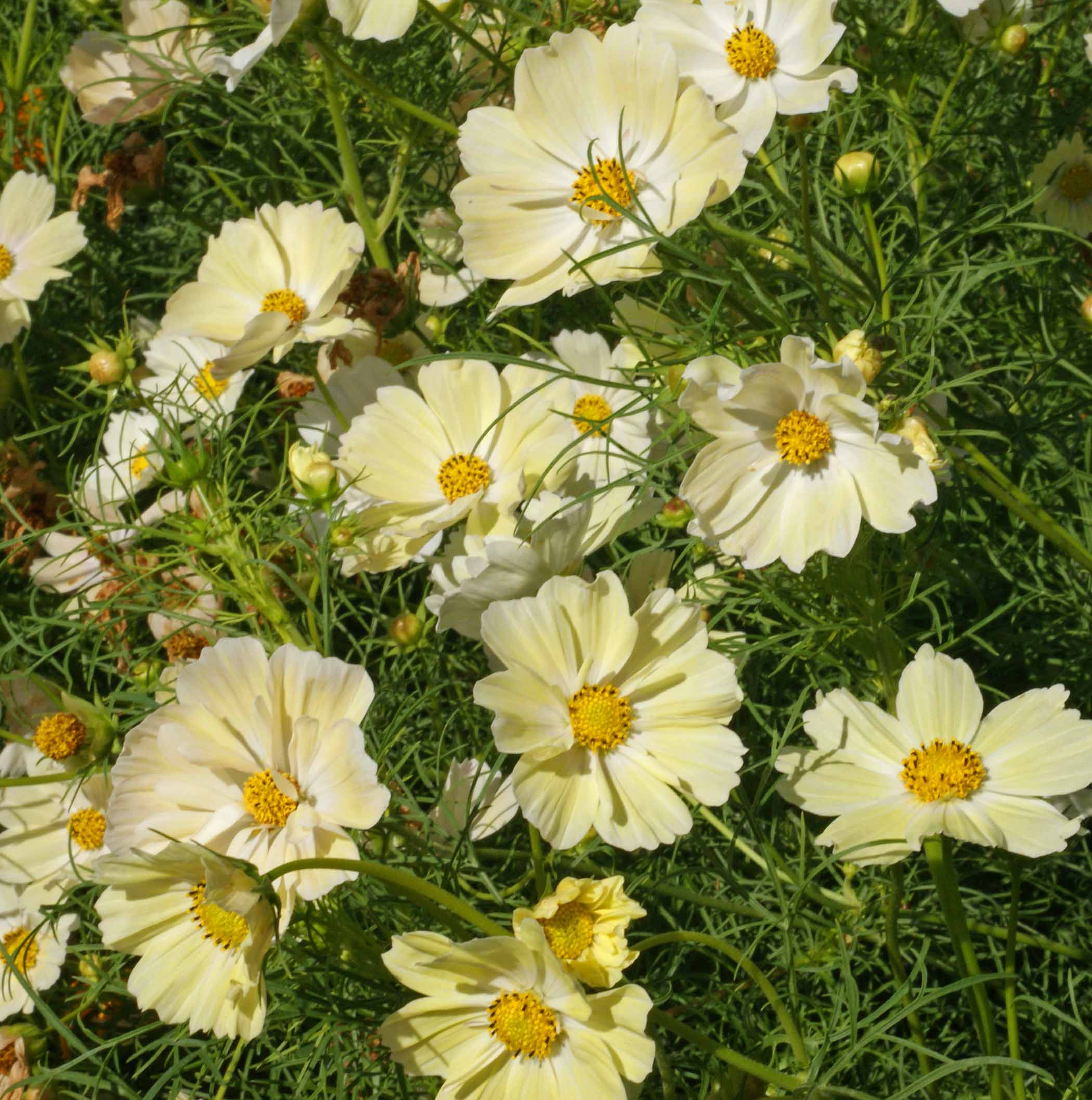 Yellow cosmos cosmos bipinnatus applewood seed company additional information mightylinksfo
