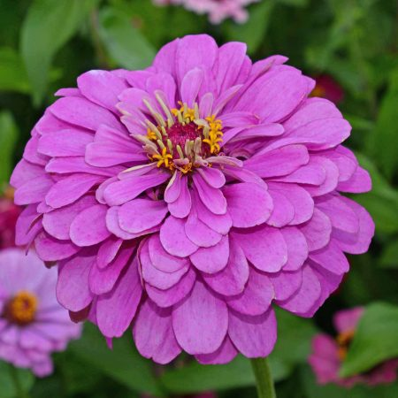 Zinnia lavender