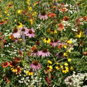 Eastern US Xeriscape Seed Mix