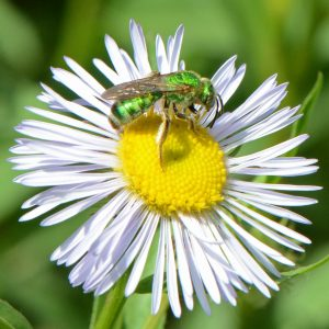 DBG Green Sweat Bee