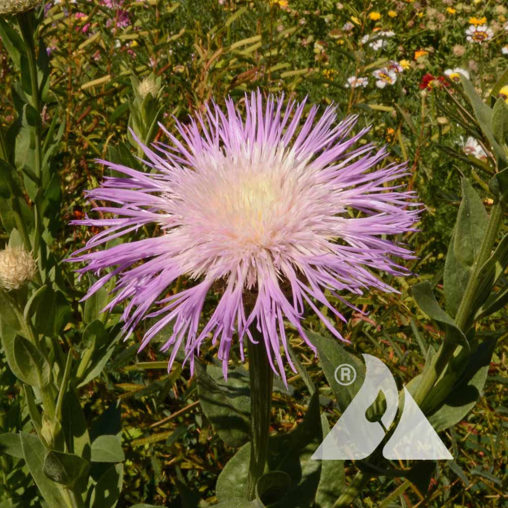 American Basketflower (Centaurea americana)