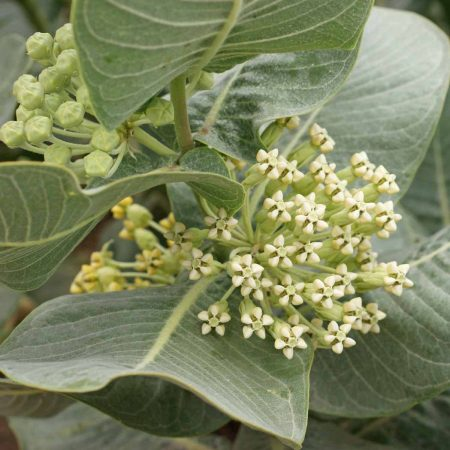 Broadleaf Milkweed (Asclepias latifolia)