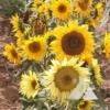 Dwarf Sunflower 'Incredible' (Helianthus annuus)