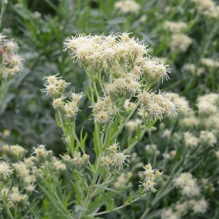 False Boneset (Brickellia eupatorioides)