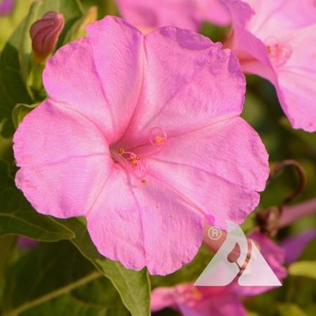 Pink Four O'Clocks (Mirabilis jalapa)
