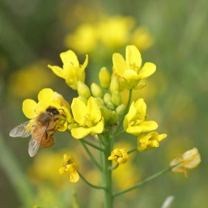 Honey Bee on Canola Flower