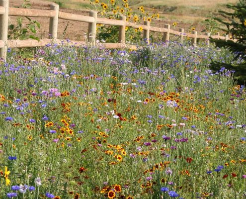 Knee Hi Wildflower Seed Mix 1st Year Annuals