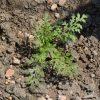 Lacy Phacelia (Phacelia tanacetifolia)