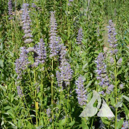 Lavender Hyssop (Agastache foeniculum)