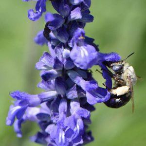 Native Bee on Blue Sage Salvia farinacea