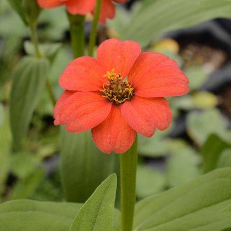 Peruvian Zinnia (Zinnia peruviana)