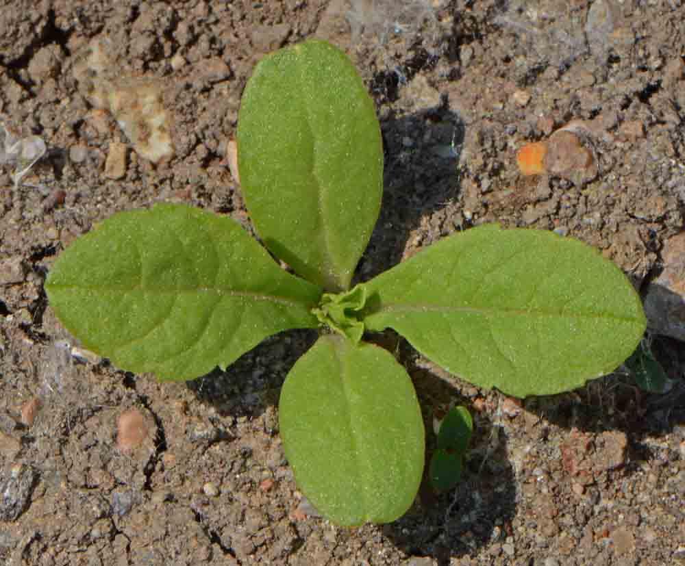 Pincushion Flower Imperial Mix Scabiosa Atropurpureaapplewood Seed