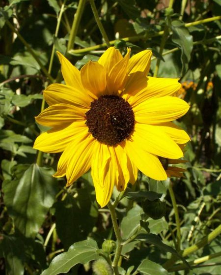 Prairie Sunflower (Helianthus petiolaris)
