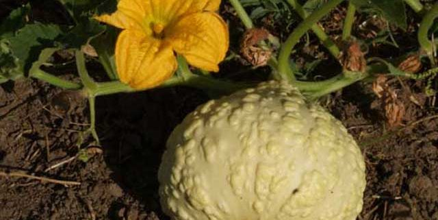 Squash Crop
