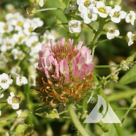 Strawberry-Clover-Trifolium-fragiferum