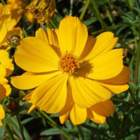 Sulphur Cosmos Crest Gold (Cosmos sulphureus)