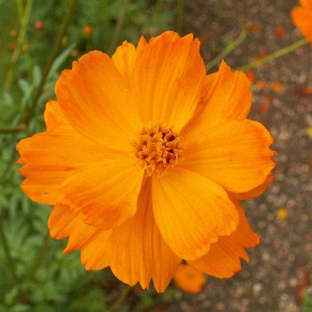 Sulphur Cosmos 'Crest Orange' (Cosmos sulphureus)