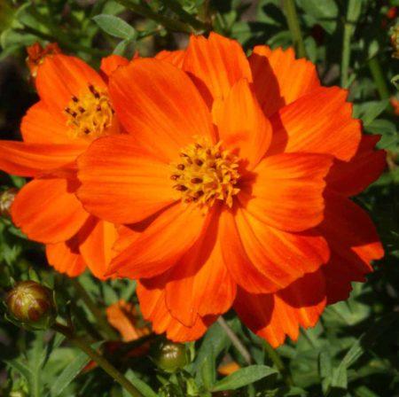 Sulphur Cosmos 'Crest Red' (Cosmos sulphureus)