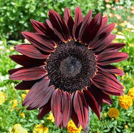 Sunflower 'Chocolate Cherry' (Helianthus annuus)