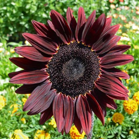 Sunflower 'Chocolate Cherry' (Helianthus annuus)