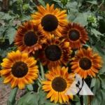 Sunflower 'Earthwalker' (Helianthus annuus)