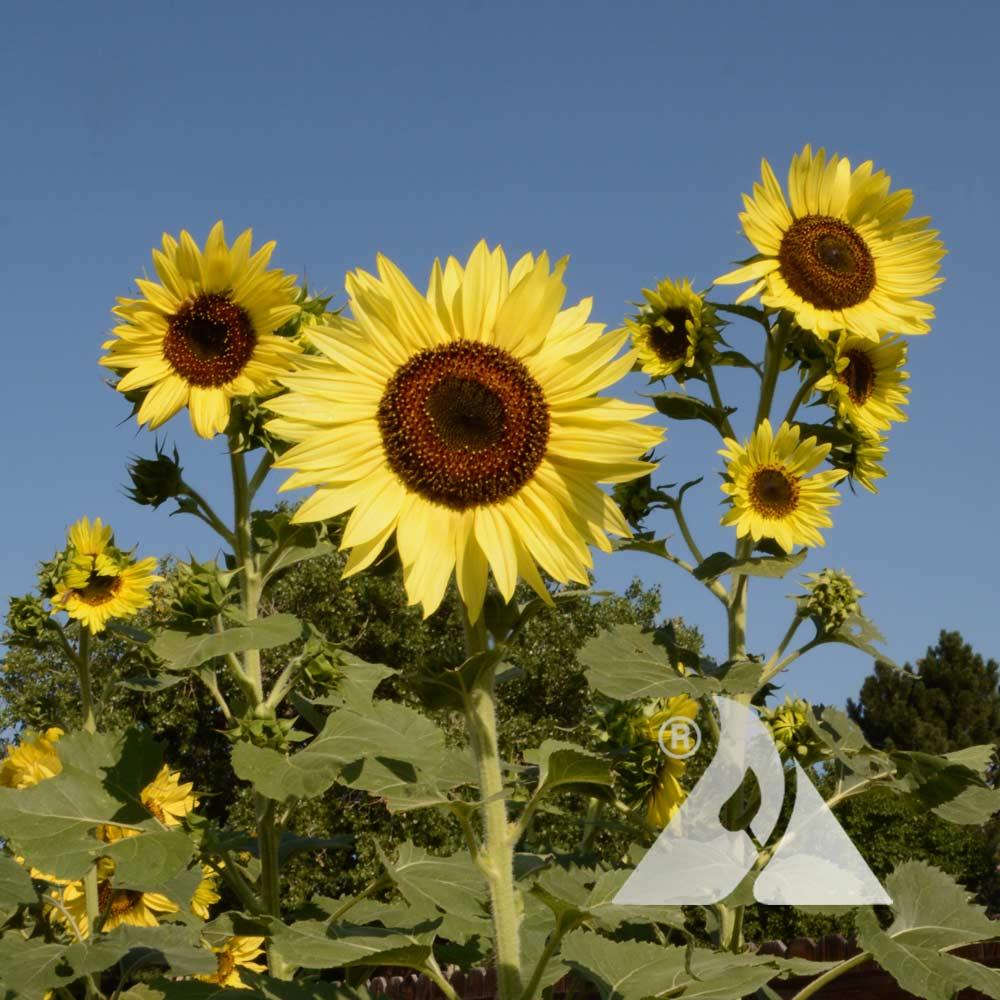 Sunflower 'Lemon Queen' (Helianthus annuus)