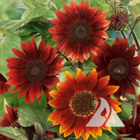 Sunflower 'Moulin Rouge' (Helianthus annuus)