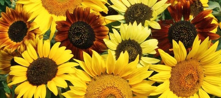 Sunflowers Variety - Applewood Seed Company