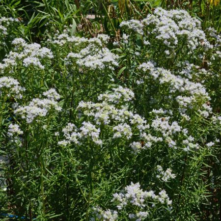 Virginia Mountain Mint (Pycnanthemum virginianum)