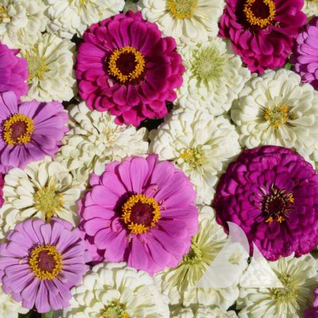Blueberry Cheesecake Zinnia Mix