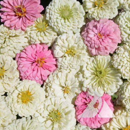 Blushing Bride Zinnia Mix
